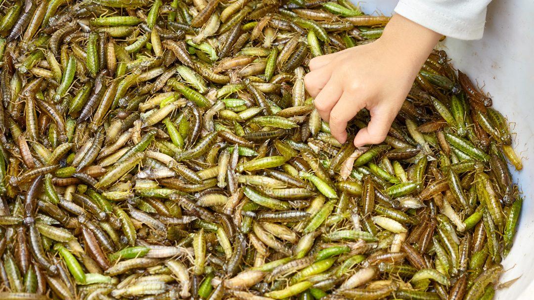 Lee más sobre el artículo Comer insectos ayuda a luchar contra el cambio climático